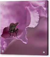 Fly On A Rhododendron Acrylic Print