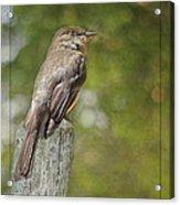 Flycatcher In Southern Missouri Acrylic Print