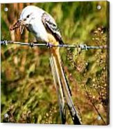 Flycatcher With A Meal Acrylic Print