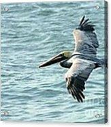 Flying Brown Pelican  Acrylic Print