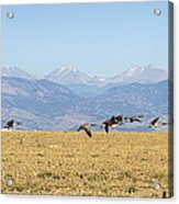 Flying Canadian Geese Rocky Mountains 2 Acrylic Print