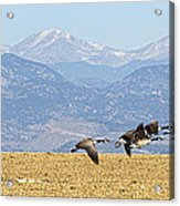 Flying Canadian Geese Rocky Mountains Panorama 2 Acrylic Print