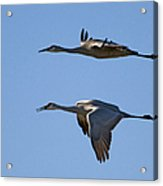Flying Close Acrylic Print
