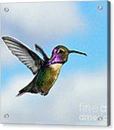 Flying Costa's Acrylic Print