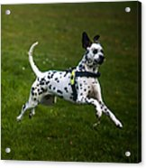 Flying Crazy Dog. Kokkie. Dalmation Dog Acrylic Print