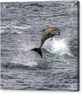 Flying Dolphin Acrylic Print by David Yack