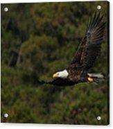 Flying Eagle Acrylic Print