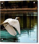 Flying Egret Acrylic Print by Robert Bales