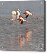 Flying Flamingos Acrylic Print