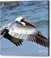 Flying Florida Pelican Acrylic Print