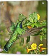 Flying Green Violetear Acrylic Print