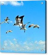 Flying Gulls Acrylic Print