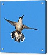 Flying Hummingbird Against Blue Sky Acrylic Print