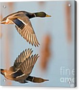 Skimming The Pond Through Cattails Acrylic Print