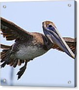 Flying Pelican Panorama Acrylic Print