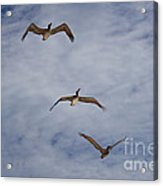 Flying Pelicans Acrylic Print