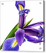 Flying Purple People Pleaser Acrylic Print by Steve Harrington