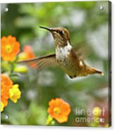 Flying Scintillant Hummingbird Acrylic Print
