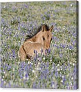Foal In The Lupine Acrylic Print by Carol Walker
