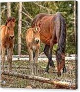 Foal Spot Acrylic Print