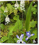 Foamflower And Crested Dwarf Iris - D008428 Acrylic Print