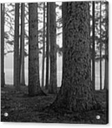 Fog Within The Pines  Bw Acrylic Print