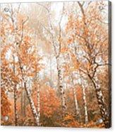 Foggy Autumn Aspens Acrylic Print