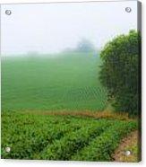 Foggy Bean Field Acrylic Print
