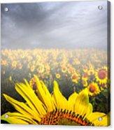 Foggy Field Of Sunflowers Acrylic Print