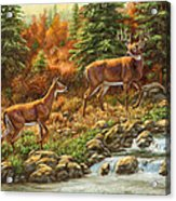 Whitetail Deer - Follow Me Acrylic Print by Crista Forest