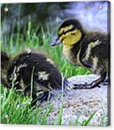 Follow The Leader Ducky Style Acrylic Print