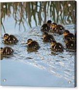 Follow The Leader Acrylic Print
