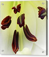 For The Love Of Lilies 1 Acrylic Print