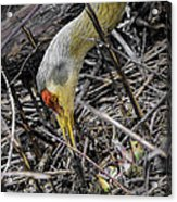 foraging for wild edibles Sandhill Crane Acrylic Print