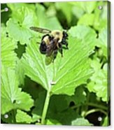 Forest Bee 7260 Acrylic Print