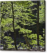 Forest Cathedral Acrylic Print