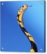 Forest Cobra Naja Melanoleuca Acrylic Print