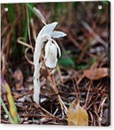 Forest Fairy Indian Pipe Acrylic Print