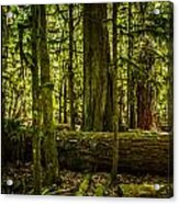 Forest Of Cathedral Grove Collection 3 Acrylic Print