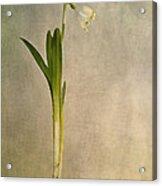 Foretaste Of Spring Acrylic Print by Priska Wettstein