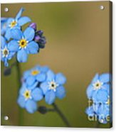 Forget Me Not 01 - S01r Acrylic Print
