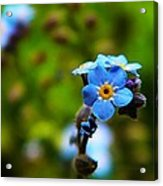 Forget Me Not Bloom Acrylic Print