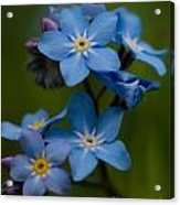 Forget Me Not Flower Acrylic Print