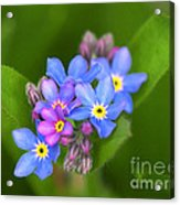 Forget-me-not Stylized Acrylic Print