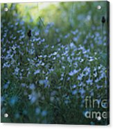 Forget Me-nots Acrylic Print