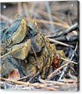 Forgotten Pine Cone Acrylic Print