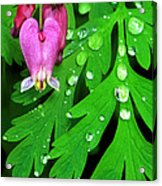 Formosa Bleeding Heart On Ferns Acrylic Print