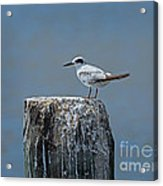 Forster's Tern Acrylic Print
