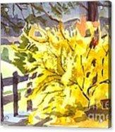 Forsythia In Springtime Acrylic Print