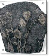 Fossil Crinoids Acrylic Print
